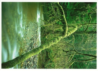 35X Postcard of Spindly branches Redwood National and State Park
