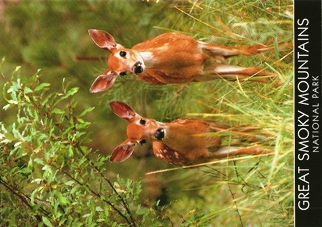 20x White-tailed Deer Fawns (Odocoileus virginianus) GREAT SMOKY