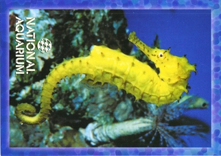 34X Postcard Of Seahorse (genus: Hippocampus) NATIONAL AQUARIUM