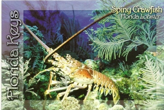 21x Postcard of Florida Spiny Lobster (With Recipe on Back).